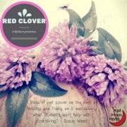 red clover featured at Red Moon Herbs