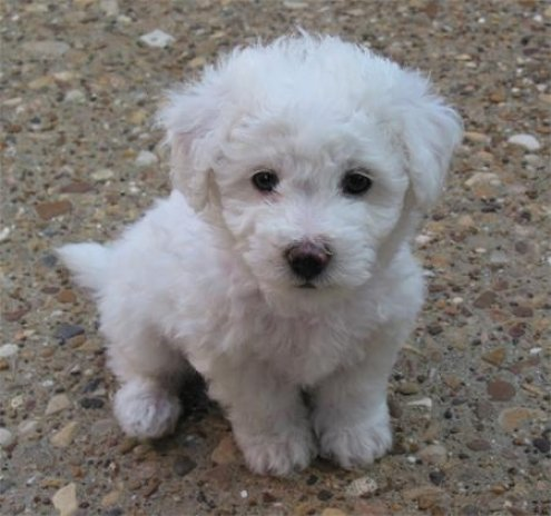 Puppy Bichon Frise Dog