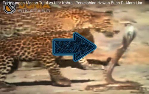Leopard cub vs cobra