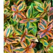 Abelia Love Edibles Reems Creek Nursery Mynewsletterbuilder